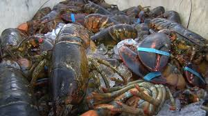 Jersey fishermen catch quality lobsters ...