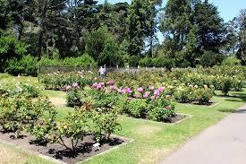 rosy splendor rose garden san