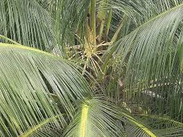 10 Ways To Use Palm Fronds In The Home And Garden The Permaculture Research Institute