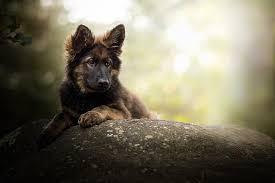dogs german shepherd baby