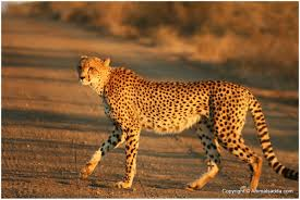 cheetah facts for kids pictures
