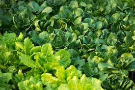 best vegetables to grow in the shade