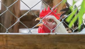 Fencing Tips Create Secure Borders To Keep Your Chickens Safe Hobby Farms