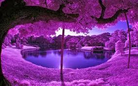 hd wallpapers desktop purple tree