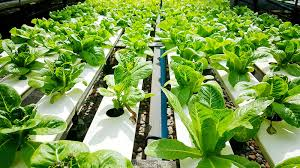 how to grow hydroponic lettuces a