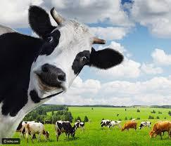 فتاة سويدية تنادي أبقار مزرعتها بتعويذة سحرية واستجابتهم لها
