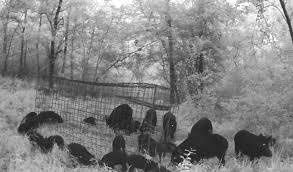 feral hogs menacing homeowners in