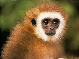 رسائل حب القرد المضحك احدث صور للقرود صور قرود مضحكة جديدة 2012