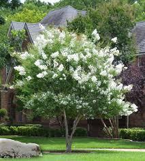 White Crape Myrtles | Myrtle tree, Crape myrtle, White gardens