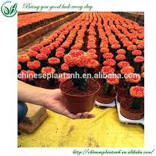 grafted cactus whole 🇨🇳 alibaba
