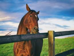 Causes Characteristics And Solutions For Horse Cribbing