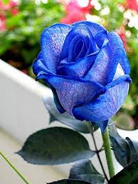blue roses very beautiful pictures 24