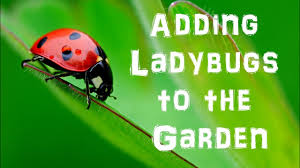 good vs bad ladybugs in your garden