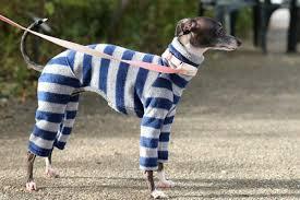 Pin by Addie Mitchell on Iggys   Italian greyhound clothes, Whippet,  Italian greyhound