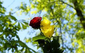 free yellow rose flower
