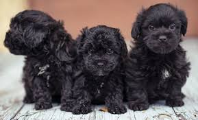 teacup poodle a plete guide to