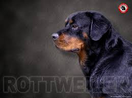 44 rottweiler wallpapers for desktop