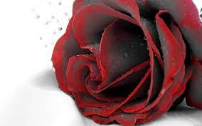 free black red rose wallpaper