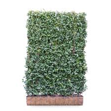 Euonymus Hedging Screen Euonymus Fortunei Dart S Blanket 180cm High 120cm Wide Hedges Direct