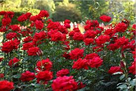 beautiful quotes in roses lovenregards blog ideas new