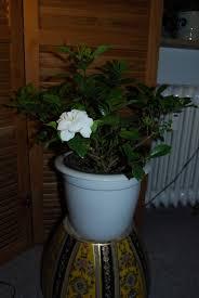 learn how to grow a gardenia indoors