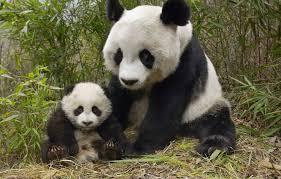 china bamboo bear panda bear