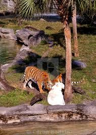 tigers at busch gardens ta florida