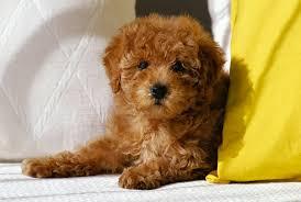 poodle toy poodle dog breed standards