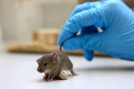 These Lab Animals Will Help Fight Coronavirus - The New York Times