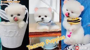 Tik Tok Chó phốc sóc mini Funny and Cute Pomeranian Videos #3 ...