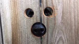 Dog Sized Holes In The Fence So That Pup Can Peep At Her Neighbors Boing Boing