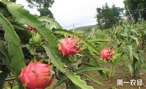 火龙果要怎么进行施肥?火龙果的需肥规律与施肥技术- 种植技术- 第一农经网
