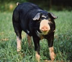 Christiansen's Family Farm & Hog Heaven: Impostor Berkshire Pigs