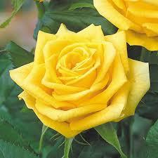 ورد الجوري الهولندي و اسمه العلمي Dutch Rose مشتلي