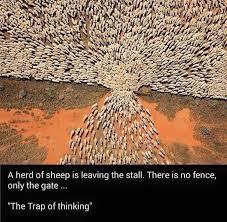 Sheep Walking Through Gate