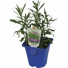growfresh pot tarragon french herbs