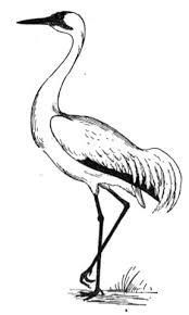 Kraanvogel Kleurplaat Gratis Kleurplaten Printen