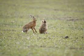 res 847 brown hares boxing 1834103