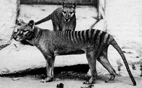 extinct Tasmanian tiger after sightings ...