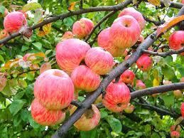 ЯБЛОНЯ - Яблоня Яблочный спас (летн.)