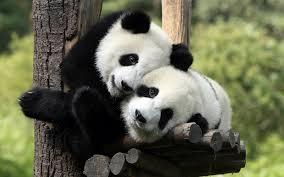 wallpapers of pandas on wallpapersafari