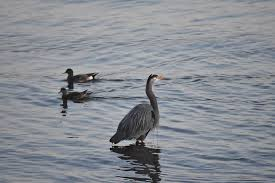 Heron Fishing in English Bay BC Photograph by Ivan Wright