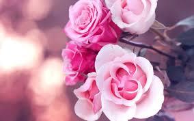 free pink rose wallpaper free at