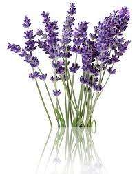 kucing takut dengan bunga lavender