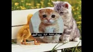 قطط مضحكة اجمل صور مضحكه عبارات