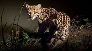 Ocelot Bathrooms Are A Meeting Place For Several Central American Mammals Science Aaas