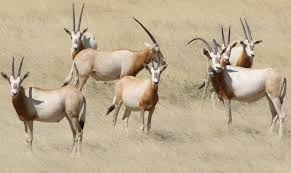 Celebrating the scimitar-horned oryx this World Wildlife Day | Zoological  Society of London (ZSL)
