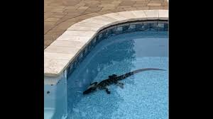 Alligator Finds Way Over 8 Foot Fence To Get In Alabama Pool Biloxi Sun Herald