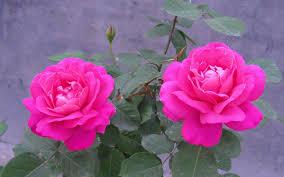 rose flowers hd wallpapers free