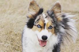 Dogs With Blue Eyes: Meet These 6 Dog Breeds
